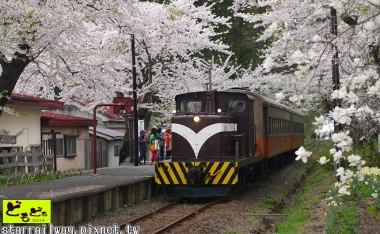 [青森]櫻花與小火車的競演-金木町芦野公園