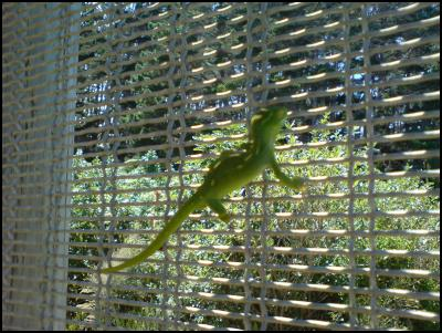 Green gecko on Sanctuary fence by Daniel Coe