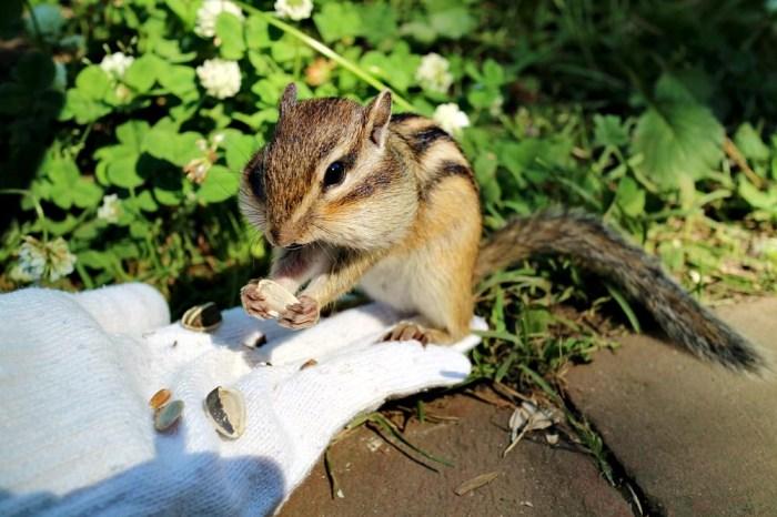 北海道網走景點之鄂霍次克花栗鼠公園 來當被花栗鼠包圍的白雪公主