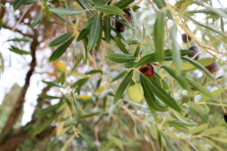 西班牙橄欖油!好吃好用的萬能伴手禮要選特級初榨橄欖油(附選油步驟