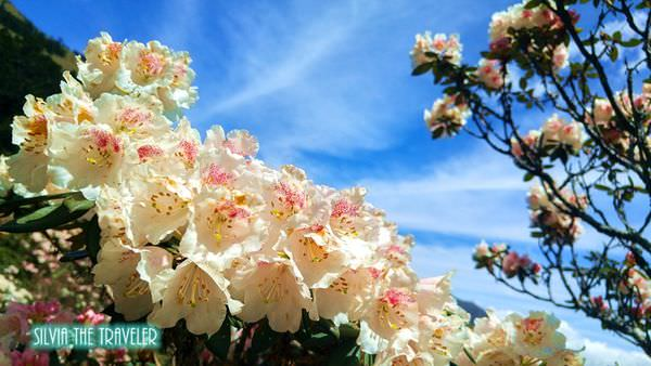 【台灣中部】五月合歡山杜鵑花季, 三個絕美賞花秘境!