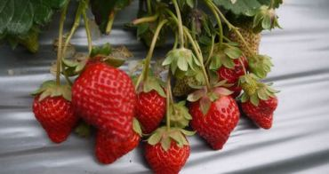 [遊記]苗栗大湖 大自然草莓園 深山裡清幽採草莓~又紅又甜美!!! 沒車的還可以預約交通接送唷