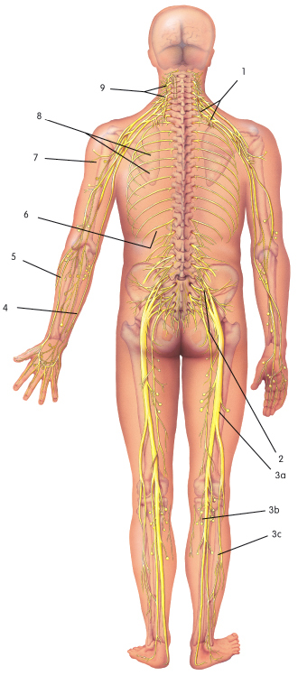 Spinal nerves, showing sciatic nerves