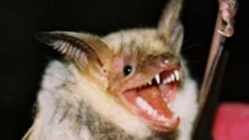 Une chauve-souris Myotis myotis