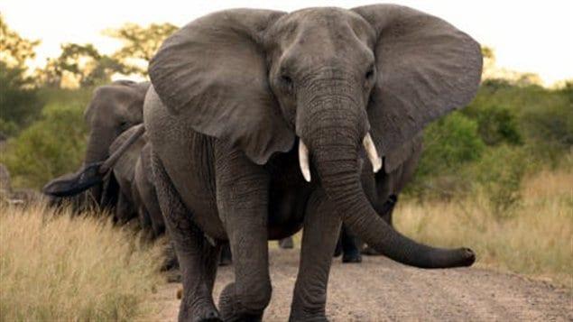 Un éléphant d'Afrique