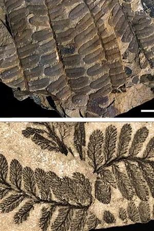 Le fossile de branches et de feuilles