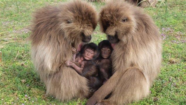 Deux soeurs géladas et leurs petits