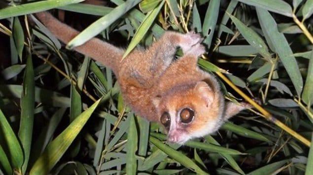 Photo (diffusée le 25 mars 2013) d'une des deux nouvelles espèces de lémuriens découvertes à Madagascar par des biologistes allemands