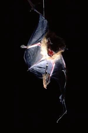 Une chauve-souris s'approche d'un appât, une fausse teigne de la cire, lors d'une étude américaine réalisée à l'Université Wake Forest.