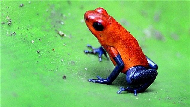 Une grenouille au Costa Rica.