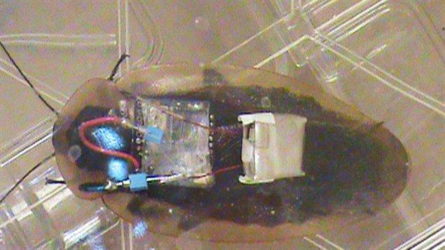 Une Blaberus craniifer munie de l'un des transmetteurs créés par les chercheurs de l'Université Purdue.