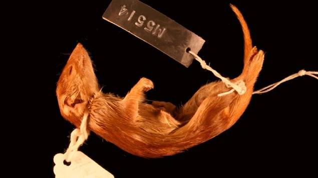 Un mâle Dasykaluta rosamondae mort