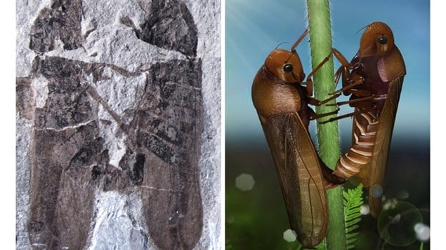 Le fossile (à gauche) et une reconstruction (à droite) des cercopes liés lors de la reproduction.