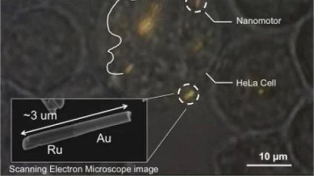Des nanomoteurs dans une cellule humaine vivante