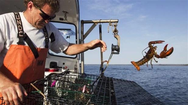 Pescador devuelve al agua un bogavante demasiado pequeño.