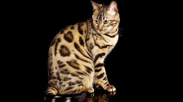 Un chat du Bengale, (Prionailurus bengalensis), parfois appelé chat-léopard à cause de sa fourrure.