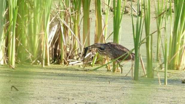 An American bittern eats a barred tiger salamander in a duckweed and algae-covered marsh in southwestern Manitoba. Wetlands are also a critical habitat for a wide variety of wildlife.