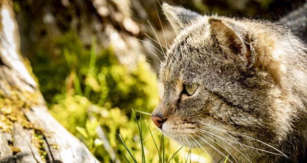 """Wildkatze (""""Kater Toco"""") im Wildkatzendorf Hütscheroda, Foto: Gerd Förster"""