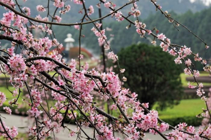 【南投。旅遊】賞櫻最前線–九族文化村櫻花祭搶先報