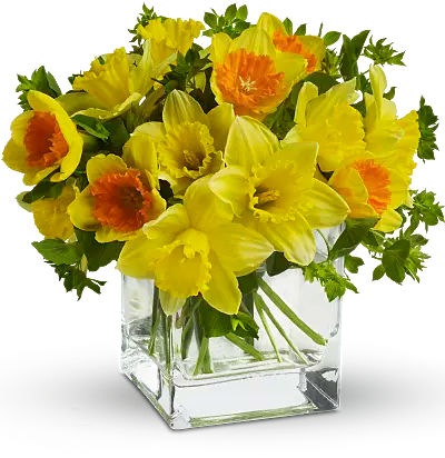 Daffodil Narcissus Flower Meaning   Symbolism   Teleflora Shop for Narcissus   Daffodils