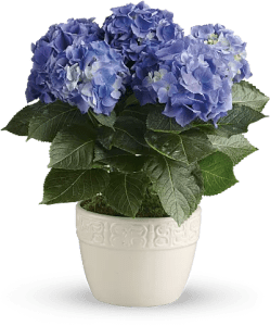 Hydrangea Flower Meaning   Symbolism   Teleflora Shop for Hydrangea