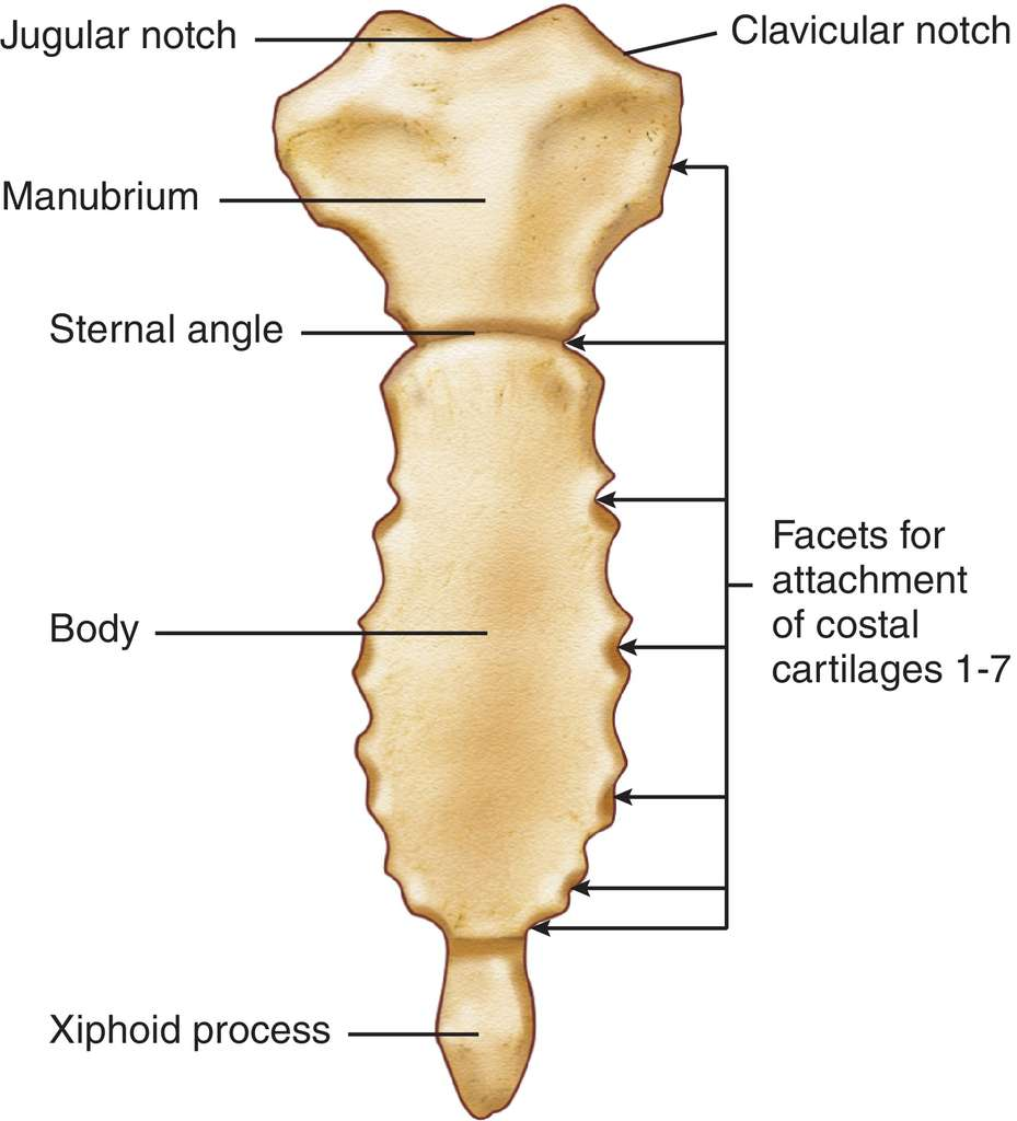 Image result for sternum labelled