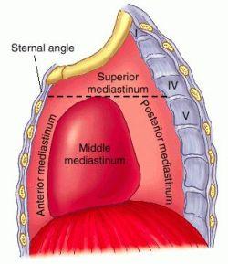 Septum mediastinale   definition of septum mediastinale by Medical dictionary