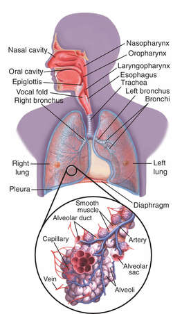 Lung consolidation | definition of lung consolidation by Medical dictionary