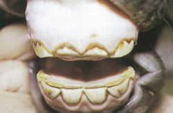 The worn down teeth of a cribber