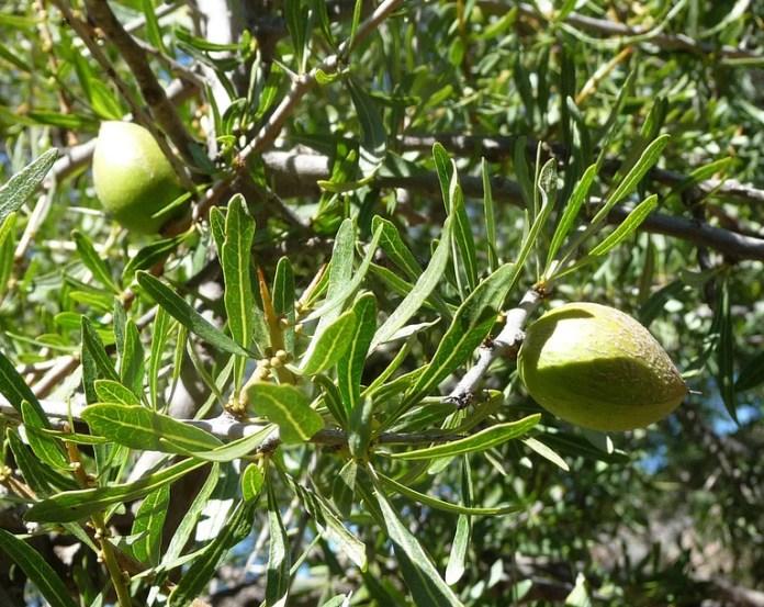 argan tree fruit