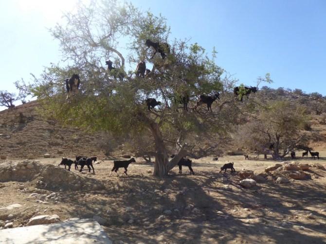 Moroccan tree goats