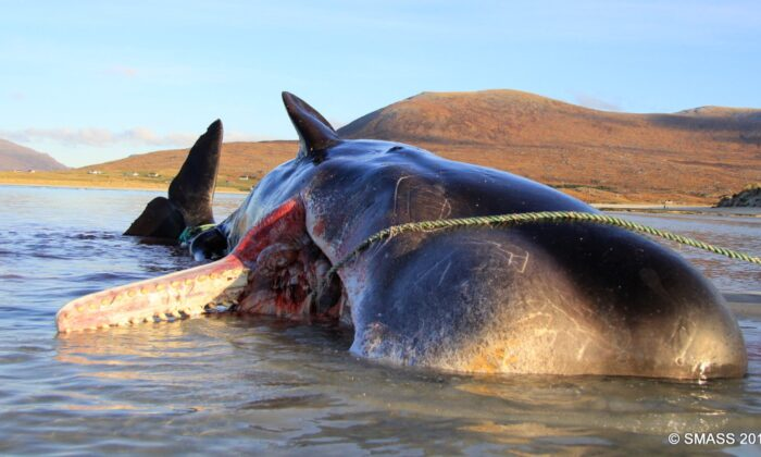 Sperm Whale Found Dead With 'Horrific' 220-Pound 'Litter Ball' in Its Stomach