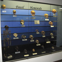 Fossil Hominid Evolution Display at The Museum of Osteology, Oklahoma City, USA.