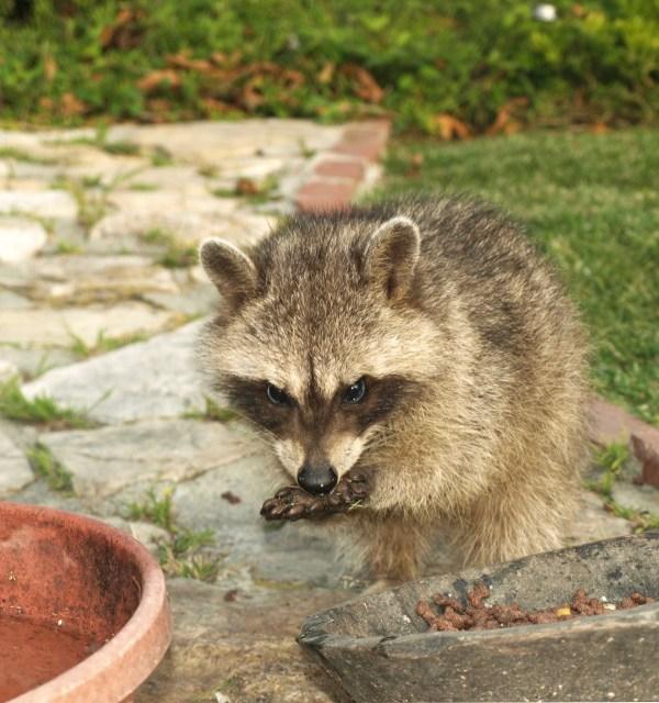 Wildlife: Fourth Generation Raccoons (Rancho Palos Verdes ...