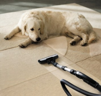 Dog Laying On Beige Carpet Next To A Vacuum Urine Odors In Carpets Can Be Difficult Remove