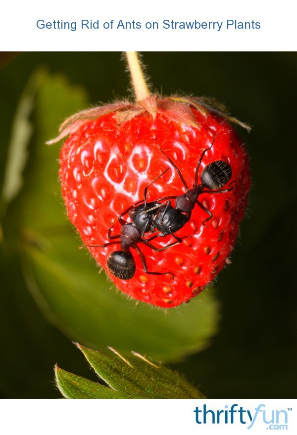Getting Rid Of Ants On Strawberry Plants ThriftyFun