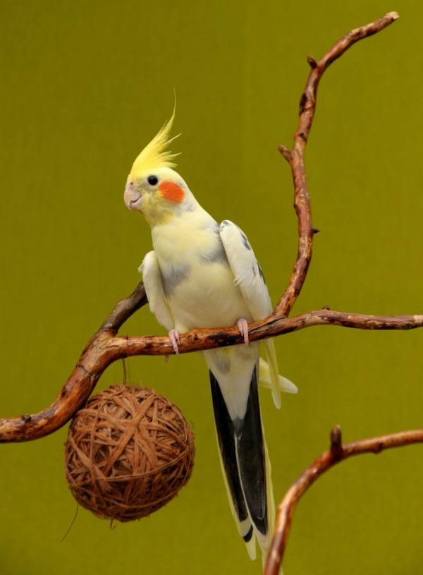 Cockatiel Information and Photos | ThriftyFun
