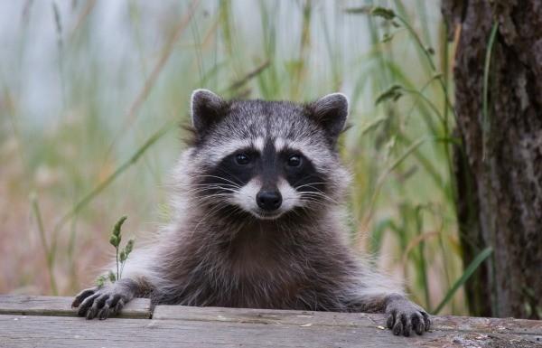 Raccoon Photos | ThriftyFun