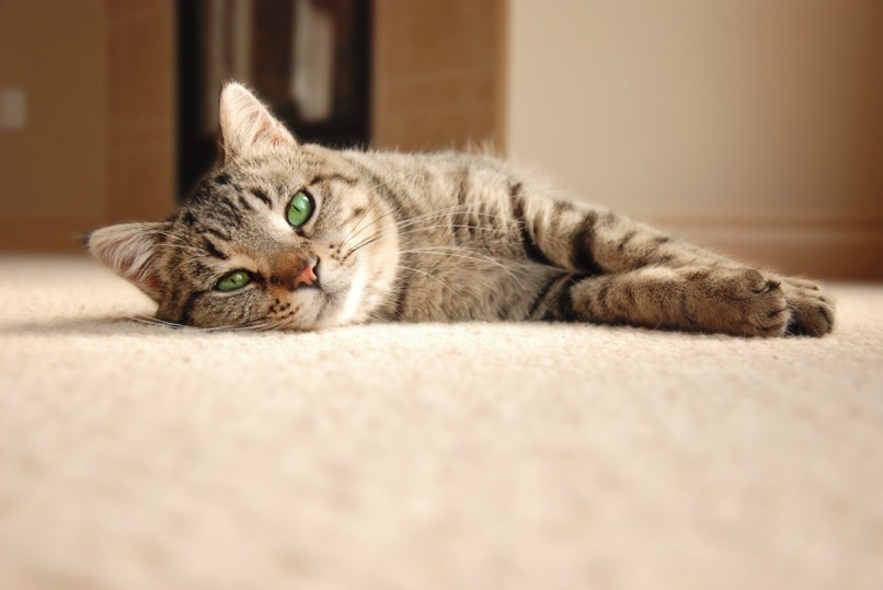 How To Clean Cat Puke Out Of Carpet Www Resnooze Com
