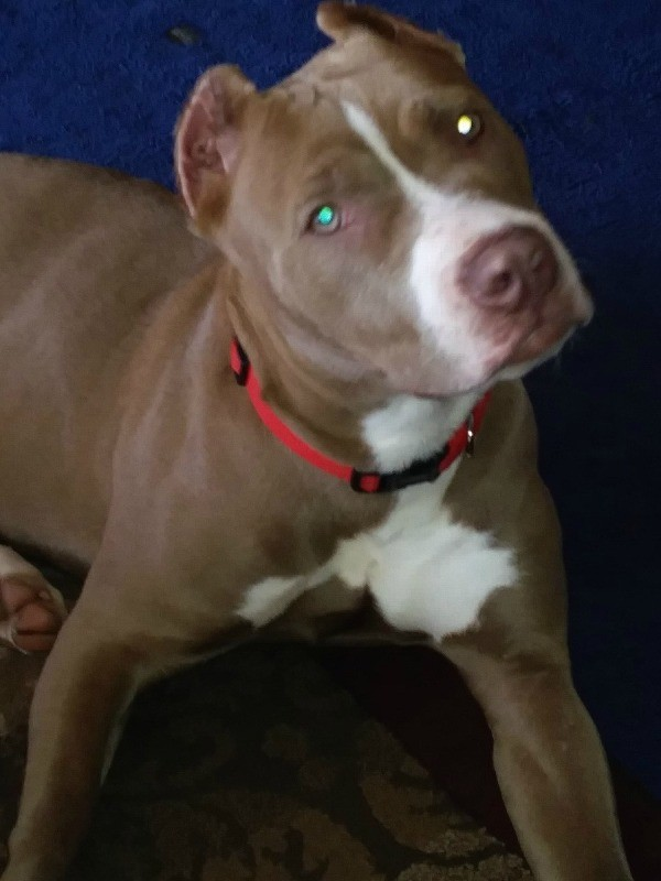Pit Bull Breed Information And Photos ThriftyFun