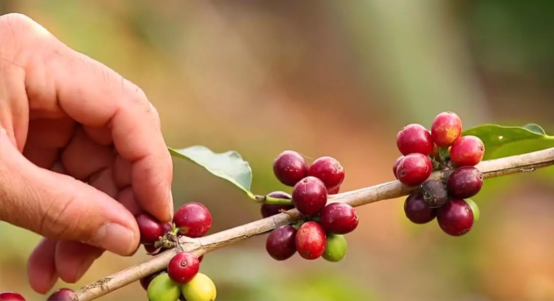 Introducing Thrive Market Organic Coffee – See How It's Made