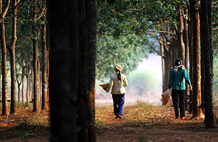 Vietnamese workers walk along rubber trees in Vietnams Central Highland Gia Lai province in March 2006 Kham / Reuters