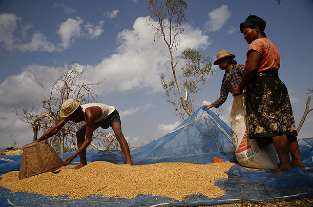 Farmers try to salvage the rice crop