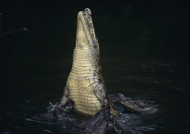 Body Parts In Pool Woman In Its Jaws How Huge Crocodile Killed The Indonesian Scientist While She Fed It