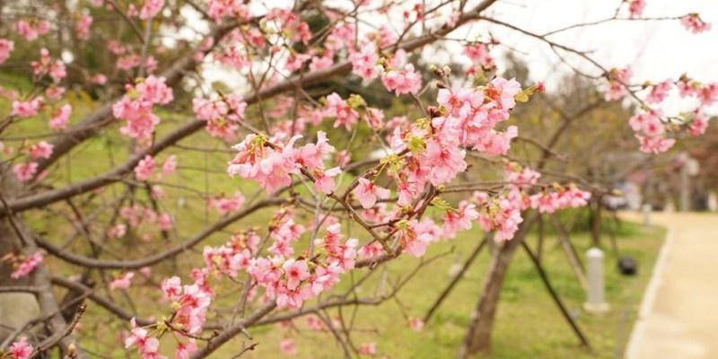 2020新竹公園櫻花開了!把握最近黃金時間衝啦~