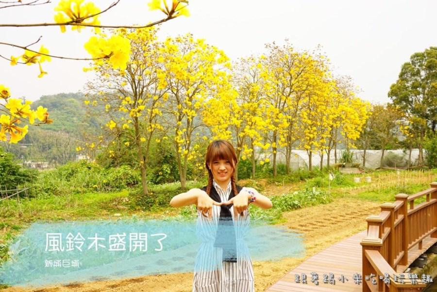 2020新竹|新埔鎮巨埔-風鈴木公園花開了!好拍IG熱門照新黃金雨景點。不須費用好停車(新龍路)