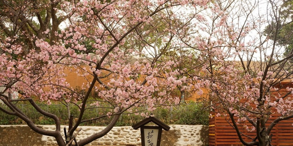 2021新竹公園櫻花開了!新春過年衝一波。花況後續不斷更新~