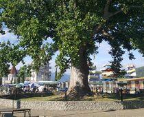 Тюльпановое дерево, Сочи, Головинка. Отели рядом, фото ...