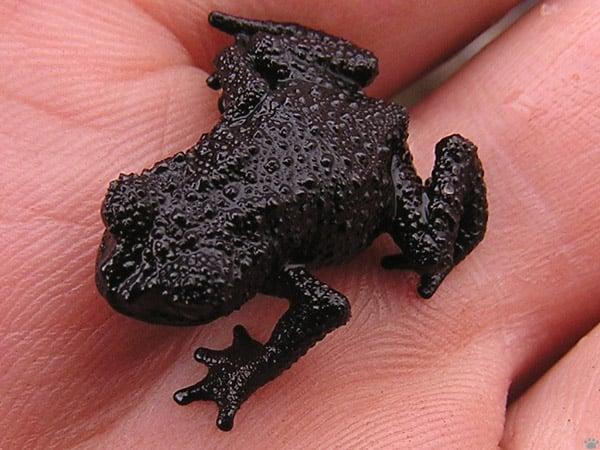 Маленькая черная жаба, плато Рорайма / Фото из Венесуэлы