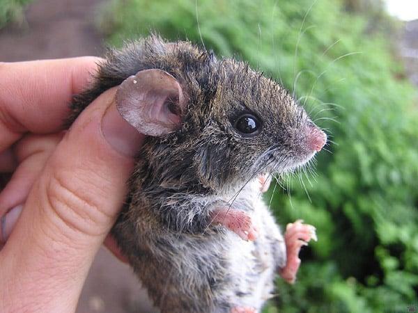 Мышь на плато / Фото из Венесуэлы